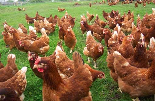 Lohmann-Brown-Chickens-in-South-Africa